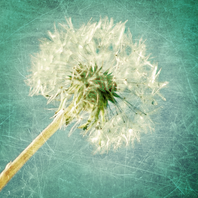 Dandelion Turquoise