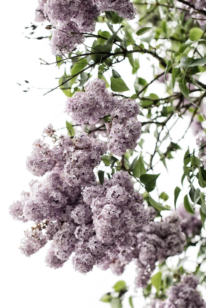 ETSY Lilac