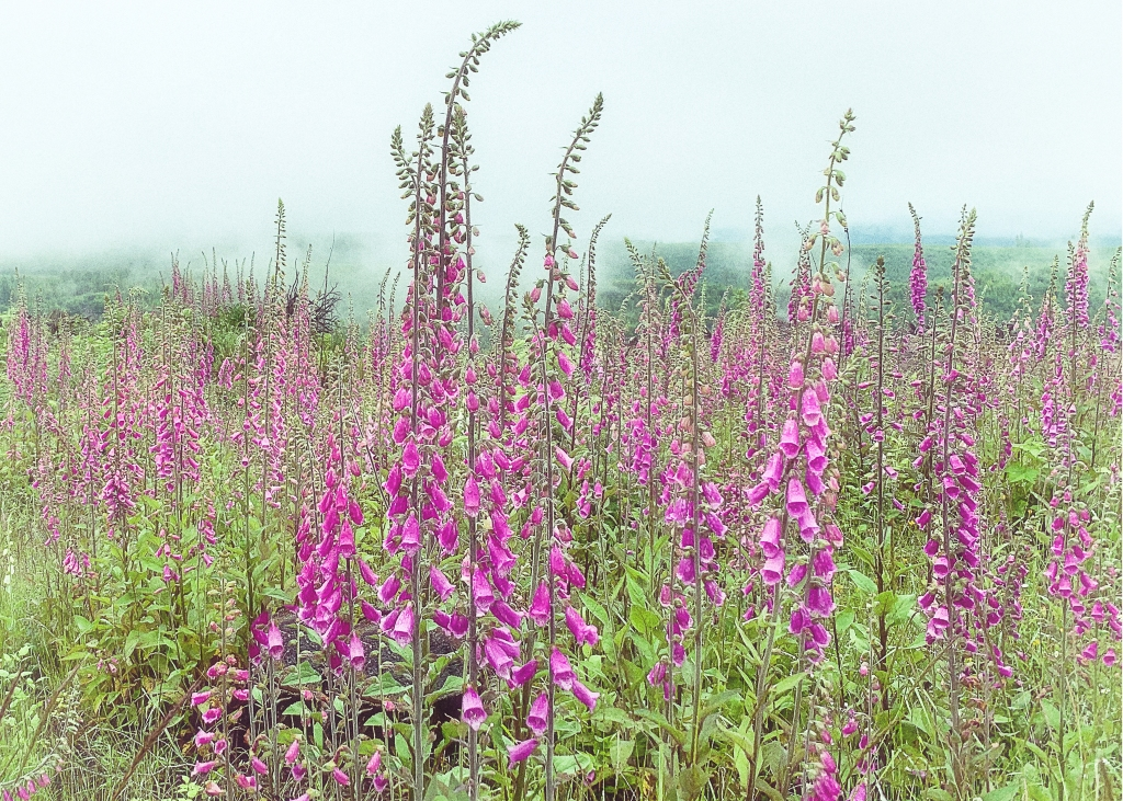 This image has an empty alt attribute; its file name is foxglove-5x7-1.jpg